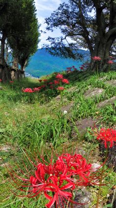 15 Sept. 12:30 野辺に咲く彼岸花。 spider lily along the wild road