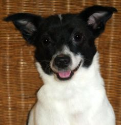 SCRAPPY DO is an adoptable Terrier Dog in Inverness, FL. Scrappy Do is a friendly little fellow who is about 2 to 3 years old and only weighs 11 pounds.  He is probably a mix of Chihuahua and Rat Ter...