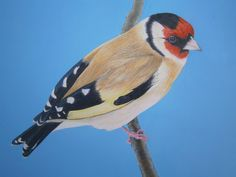 Goldfinch - Original drawing by Eula Wilkin. Water soluble Caran D'Ache Supracolor Soft Aquarelle Pencils & Gouache  on 180gm Cartridge Paper.    Unframed Drawn area 20cm by 29cm