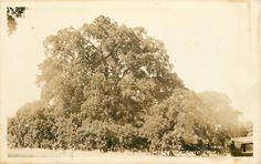 Hooker Oak