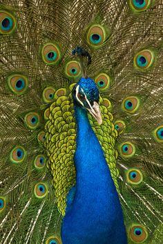 Peacock by Summer Kozisek on 500px