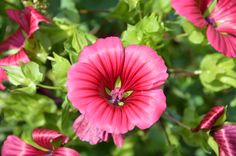 Malope trifida at Co