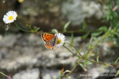 Lycaena phlaeas, also known as the Small Copper butterfly, feeding on Erigeron karvinskinanus. Bee Friendly Plants, Wild Style, Container Plants, Beautiful Gardens, Moth, Garden Design, Wildlife, Garden Walls, Copper