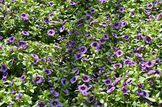 Calibrachoa hybrida 'Calita Blue Eye' minipetunie, Million Bells