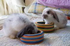 Eating time! Holland lop