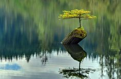 Tree Growing on Dead Log in The Middle of Lake