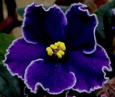 Flor de violeta