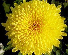 Flowers Perennials, Planting Flowers, Flowers Garden, Flower Seeds, Flower Pots, Chrysanthemum Morifolium, Yellow Chrysanthemum, Air Cleaning Plants, Aster Flower