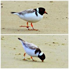 #FunFactFriday - Hooded Plovers feed visually so chicks often have their heads down looking for small bugs on the sand while the parents are looking around for any danger. - turn on notificiations to stay up to date with #hoodie facts -  #hoodedplover #savethehoodie #givethemspace #hoodiefacts #birds #threatenedspecies #greatoceanroad #surfcoast #gorcc #birdlife by savethehoodie