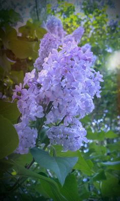 Aww the smell of Lilacs