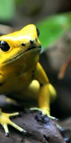 Gelber Frosch #goldentoast