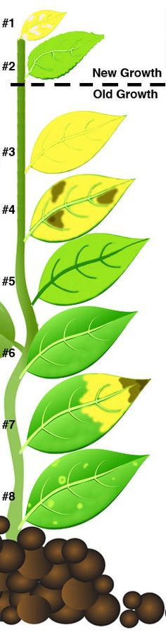 plant mineral deficiencies Insect damage or disease symptoms can also look like nutrient deficiencies or a plant may mineral deficiencies in plants by visual grow abundant gardens.
