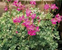 Geranium Crystal Rose