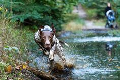shorthaired pointer - null