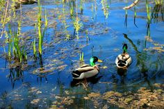 Ducks at High Park, Toronto #Canada #nature
