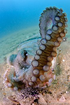 Octopuses have 2 eyes and 4 pairs of arms and are bilaterally symmetric. An octopus has a hard beak, with its mouth at the center point of the arms. Octopus lack an internal or external skeleton allowing them to squeeze through tight places. Octopuses are among the most intelligent and behaviorally flexible of all invertebrates.