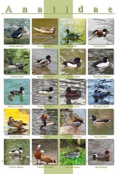 Poster A3 - Ducks species