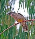 Image result for Red wattlebird
