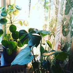 When the light comes in ✨thanks for sharing your #imaplanthoarder photo @baragronavaxter 😘🙏🏻 two of my favorite plants #monstera and #pileapeperomioides 👌🏼