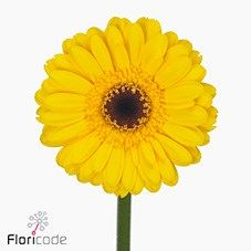 Germini Bison Gold (batches of 60 stems) is a beautiful flower that is great for weddings! Also brilliant for promotions! Head over to our website www.trianglenursery.co.uk to get more info! Great wholesale prices!