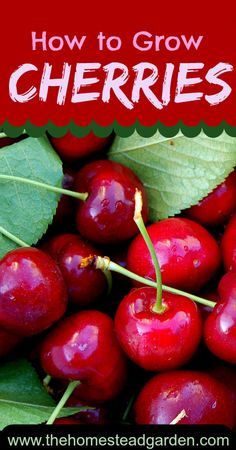 How to Grow Cherries is part of Growing fruit trees - Learn how to grow cherries in this post There are two types of cherries sweet and sour Learn everything you need to know in order to have a great crop no matter what Hydroponic Gardening, Hydroponics, Organic Gardening, Gardening Tips, Vegetable Gardening, Container Gardening, Growing Fruit Trees, Growing Plants, Growing Vegetables
