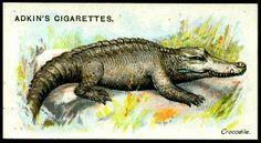 """Cigarette Card - Crocodile  Adkin's Cigarettes """"Wild Animals of the World"""" (series of 50 issued in 1923)  Crocodile"""
