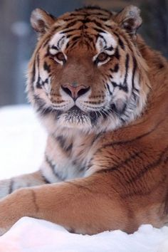 cats animals, tigers, feline