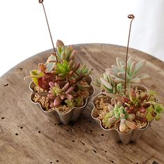 Miniature succulents in molds