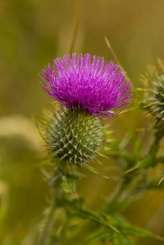 Scottish Thistle. It's a love/hate relationship. I hate them because we got seeds in hay one year and they come up in the horse fields every year. But they are also so very beautiful and resilient.
