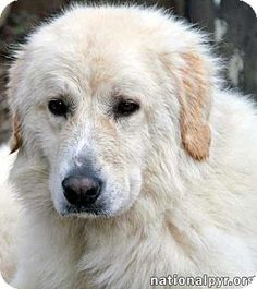 Pictures of India a Great Pyrenees Mix for adoption in Beacon, NY who needs a loving home.