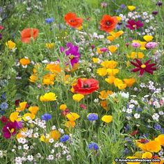 American Meadows has been supplying gardeners with the best wildflower seeds, perennials, bulbs and how-to information since Guaranteed. Dianthus Barbatus, High Country Gardens, Wild Flower Meadow, Wild Flowers Uk, Small Flowers, Fresh Flowers, Meadow Flowers, Exotic Flowers, Purple Flowers