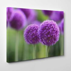 Canvasprints.io | Purple Allium flowers - #canvasprintsio - Low cost, high quality canvas prints made in London UK from just £13.99. You're sure to find inspiration in our collection. Ask about our photo to canvas option too, it's super simple. Canvas prints on wall / flower and floral canvas art