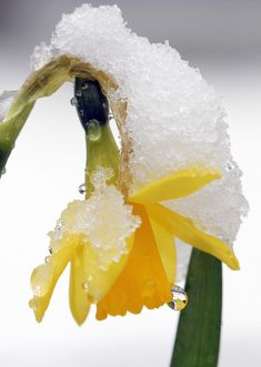 Spring daffodil after snow