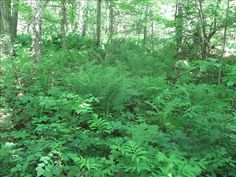 north american forest plants - Google Search