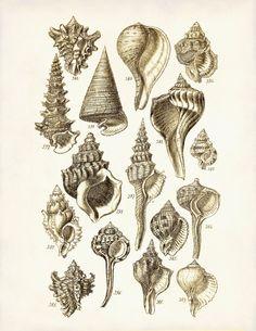 Vintage Seashells 1 - A mid 1800s George Sowerby 8 x 10 Scientific Illustration Art Print. $9.99, via Etsy.