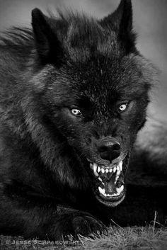El lobo (Canis lupus) es una especie de mamífero placentario del orden de los carnívoros. El perro doméstico (Canis lupus familiaris) se considera miembro de la misma especie según distintos indicios, la secuencia del ADN y otros estudios genéticos.2 Los lobos fueron antaño abundantes y se distribuían por Norteamérica, Eurasia y el Oriente Medio.
