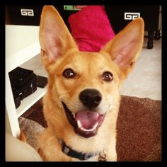 Yay Happy Dogs, Corgi, Creatures, Cute, Animals, Animales, Animaux, Kawaii, Corgis