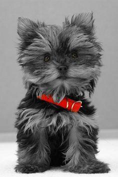 yorki, animal lovers, pet, doggi, color splash