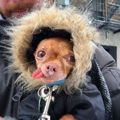 It's Mervin the Chihuahua!! He's so cute :)