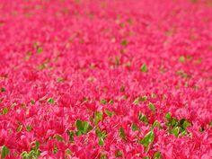 Azalea / Rhododendron / 躑躅(つつじ | Flickr - Photo Sharing!