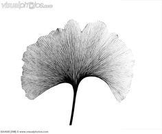X-ray of Ginkgo leaf. (X-ray of Ginkgo (Ginkgo biloba) leaf.) [BA4508] > Stock Photos | Royalty Free | Royalty Free Photos > Visualphotos.com