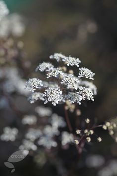 Buy cow parsley Anthriscus sylvestris 'Ravenswing' - Lacy purple foliage with a sprinkling of white flowers: Delivery by Crocus Purple Cow, Dark Purple, Cow Parsley, Herbaceous Border, Border Plants, White Plants, Perfect Plants, Family Garden, Buy Plants