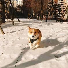 못생겼다ㅋㅋㅋㅋ대머리같아ㅋㅋㅋㅋ . . . #개스타그램 #멍스타그램 #반려견 #웰시코기 #통키 #산책 #못생김 #ㅋㅋㅋ #놀자 #welshcorgi #corgi #corgilove #corgistagram #dog #pet #petsagram
