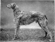 Scottish Deerhound - Wikipedia, the free encyclopedia