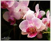 Sexy Orchid Print The Wet Orchid  11x14 Fine Art Color Photograph - by AnCarPhotography