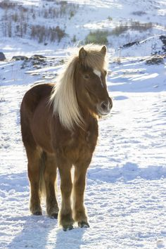 Icelandic horse | by Anna.Andres