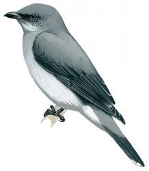 Reunion Cuckoo-shrike (Coracina newtoni)