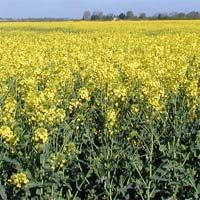 Brassica Forage Rape Seed For Deer Food Plots Food Plots For Deer, Deer Food, Fertility, Grass, Seeds, Environment, Plants, Outdoor
