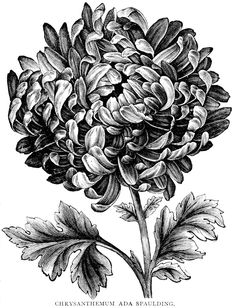 Hydrangea Tattoo Black And White Vintage Flower Tattoo, Vintage Flowers, Tattoo Vintage, Black And White Flowers, Black And White Drawing, Pencil Drawings Of Flowers, Art Drawings, Realistic Flower Drawing, Drawing Tattoos