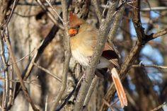 Cardinal rouge femelle - Laval - Safaris de Sophie - Sophie Labelle